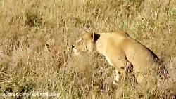 جنگ و جدال شیرها و پلنگها با همه حیوانات حیات وحش افریقا