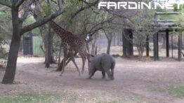 حمله ترسناک و مرگبار فیل ها به زرافه ها