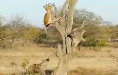 شکار آویزان از روی درخت و ناتوانی کفتار از خوردن