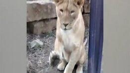 لحظات غافلگیرانه حمله وحشی ترین حیوانات به انسان