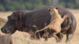 حمله دیدنی شیر برای شکار اسب آبی و گورخر