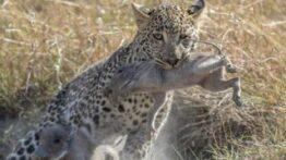 حیات وحش، بهترین حمله تماشایی ببر برای شکار گراز جنگ واقعی حیوانات