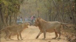 حیات وحش، نبرد سهمگین حیوانات نر در فصل جفت گیری جدید 2020