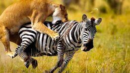 شکار گورخر توسط ۲ شیر