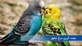 جفت گیری دو مرغ عشق