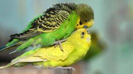 جفت گیری مرغ عشق
