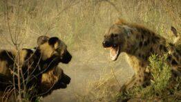 حمله حیوانات وحشی به یکدیگر