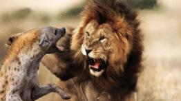 حمله گله کفتار ها به شیر