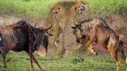 حیات وحش – جنگ و قدرت حیوانات وحشی در شکار