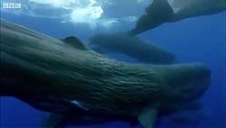دنیای حیوانات – جفت گیری و اسپرم نهنگ ها – Sperm Whales