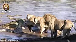 رقابت شیر نر با کروکودیل غول پیکر برای تصاحب شکار