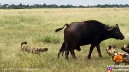 شکار پرقدرت و نفسگیر بوفالو توسط گله شیرها