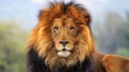 برترین شکار حیوانات وحشی توسط شیر سلطان جنگل