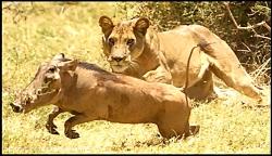 بیرون کشیدن گراز وحشی از زیر خاک و خفه کردن آن توسط شیر
