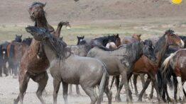 جنگ شگفت انگیز اسب های وحشی