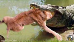 جنگ و شکار بوفالوها و شیرها و پلنگها و کفتار های حیات وحش افریقا