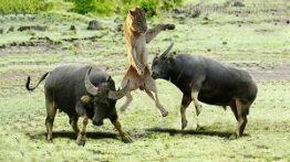 حیات وحش، حمله شیر برای شکار – بی رحمی بوفالو نر به شیر پیر