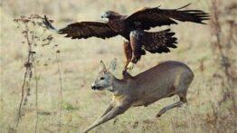 شکار حیوانات توسط عقاب