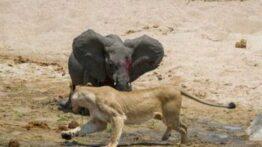 صحنه ای از شکار کردن بچه فیل توسط گله شیر ها