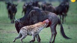 صحنه هایی بسیار زیبا از شکار کردن حیوانات وحشی