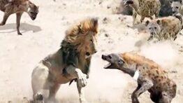 همکاری دو دشمن حیات وحش؛ شیر و کفتار برای شکار کردن