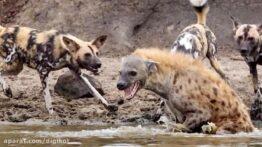 حیات وحش، حمله سگ های وحشی برای شکار