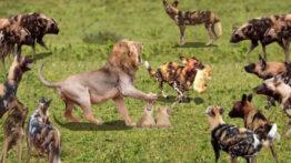 حیات وحش حمله سگهای وحشی به شیرها حملات حیوانات وحشی
