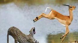 حیوانات و شکار شدن بچه اهو به طریق ترسناکی