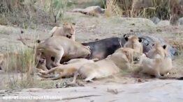 مستند حیات وحش حمله به حیوانات وحشی شکار حیوانات