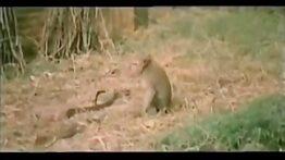 نبرد مار کبری و میمون