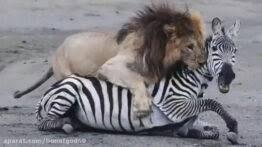 کلیپ حیوانات _ شکار ناکام شیرها