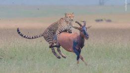 حیوانات شکار دیدنی یوزپلنگ