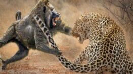 شکار بابون توسط پلنگ گشنه و وحشی