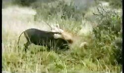 شکار های مرگبار شیر و ناله های گراز شکار شده حیات وحش