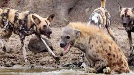 کلیپ نبرد حیوانات حمله سگ های وحشی به کفتار