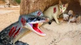 کلیپ نبرد و شکار حیوانات شکار مار توسط گربه