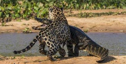 War-leopard-and-crocodiles-photos-1