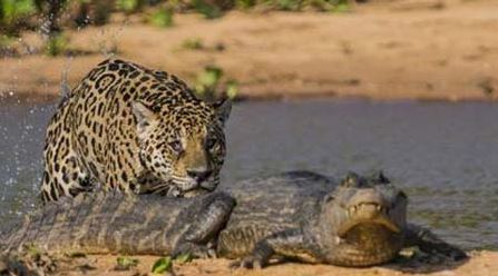 War-leopard-and-crocodiles-photos-7